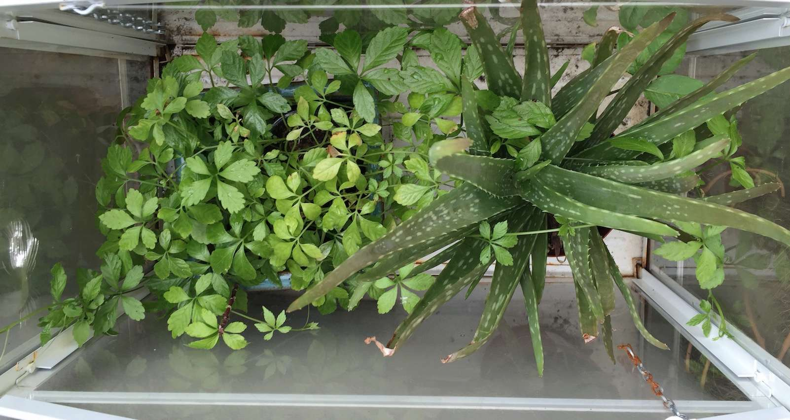 Jiaogulan [Gynostemma pentaphyllum] infos et guide de culture bouturage marcottage Captur11