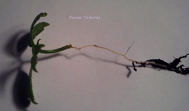 Jiaogulan [Gynostemma pentaphyllum] infos et guide de culture bouturage marcottage Jiao10