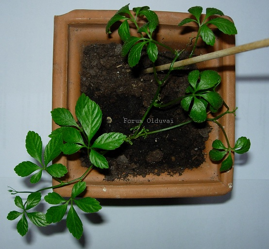 Jiaogulan [Gynostemma pentaphyllum] infos et guide de culture bouturage marcottage Jiao_210