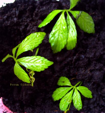 Jiaogulan [Gynostemma pentaphyllum] infos et guide de culture bouturage marcottage Jiaogu11