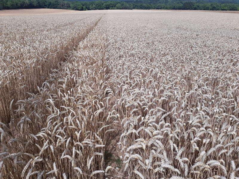 rendement blé tendre 2017 20170712