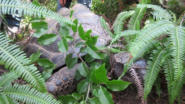 En quinze jours de fugue, la tortue a parcouru 140 mètres...  Japon-10