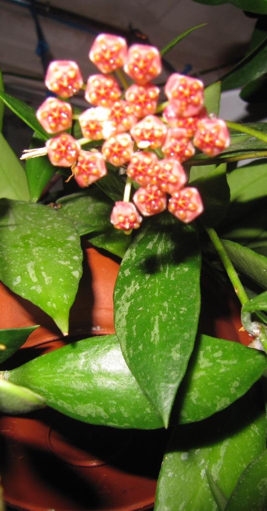 floraisons ou presque Hoyas  00126