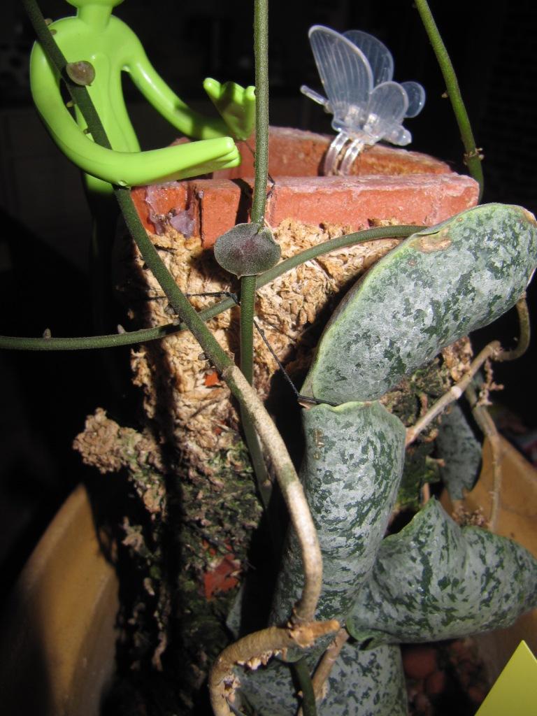 mes floraisons Hoyas du jour  00130