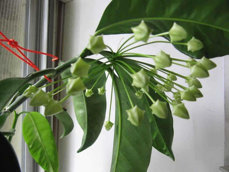 floraisons ou presque Hoyas  00224