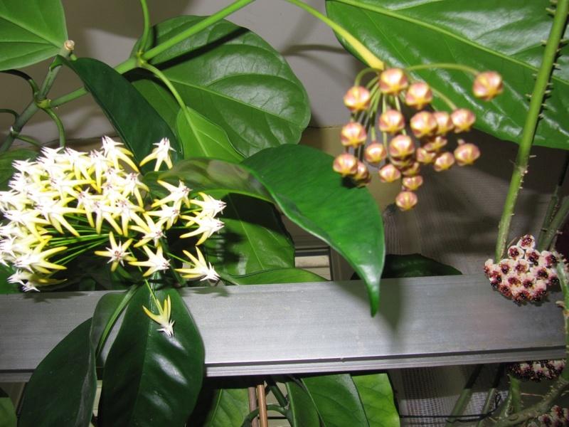 floraison du jour Hoyas  00314