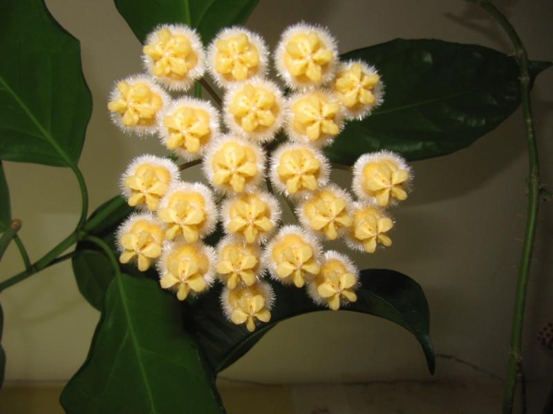floraisons ou presque Hoyas  00320