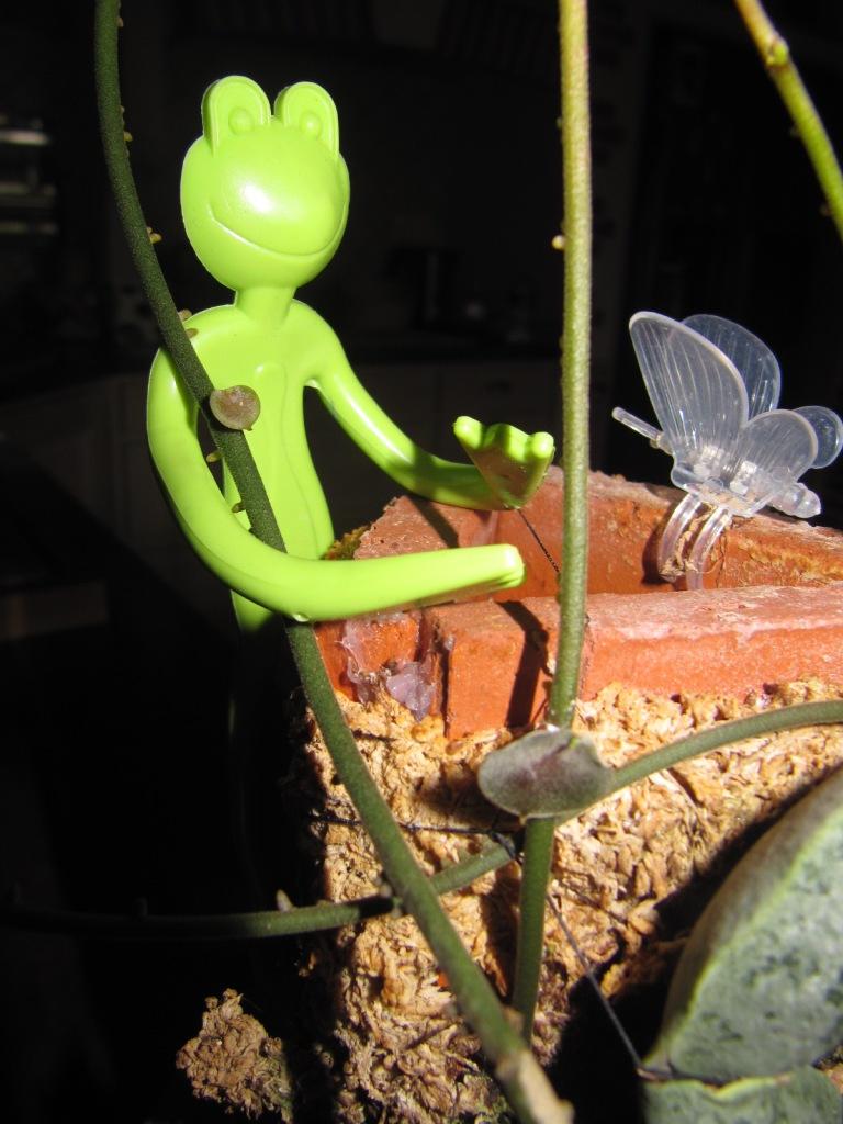 mes floraisons Hoyas du jour  00324