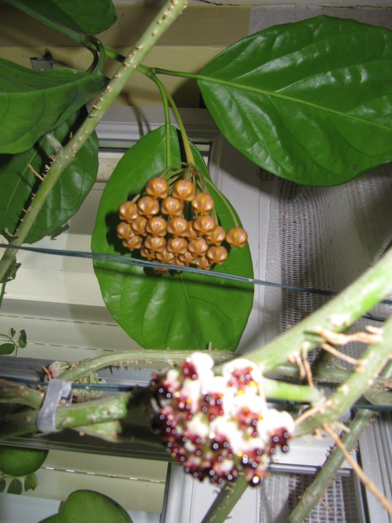 floraison du jour Hoyas  00415