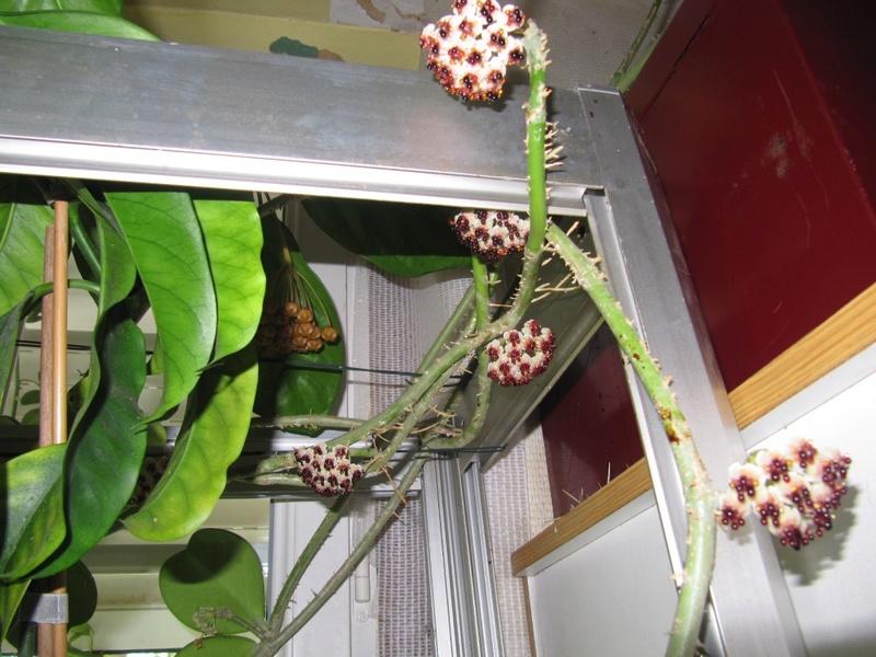 floraison du jour Hoyas  00516