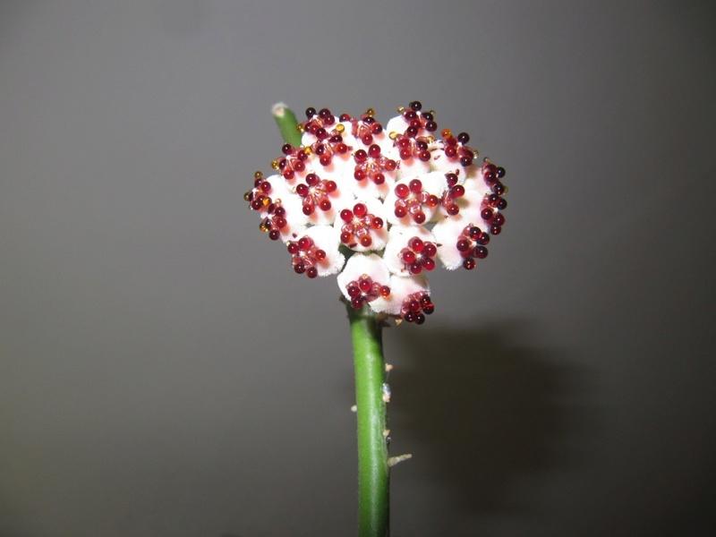 floraisons ou presque Hoyas  00519