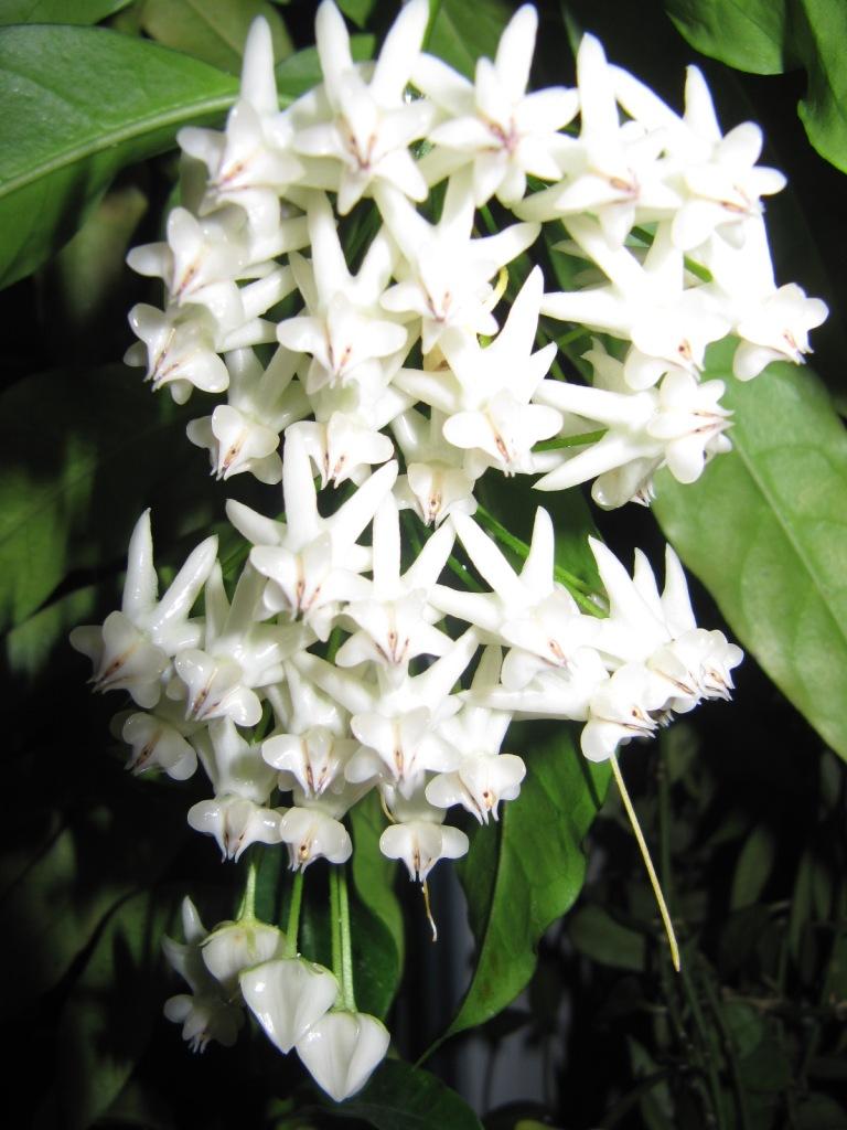 floraisons ou presque Hoyas  00520