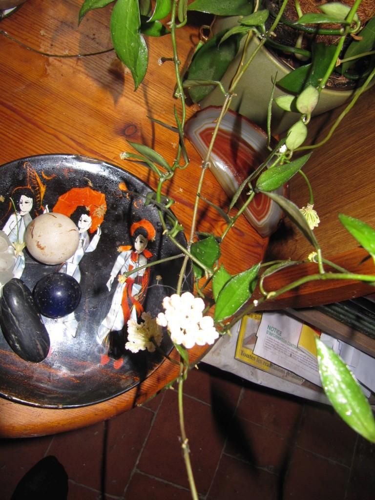 floraison du jour Hoyas 00618