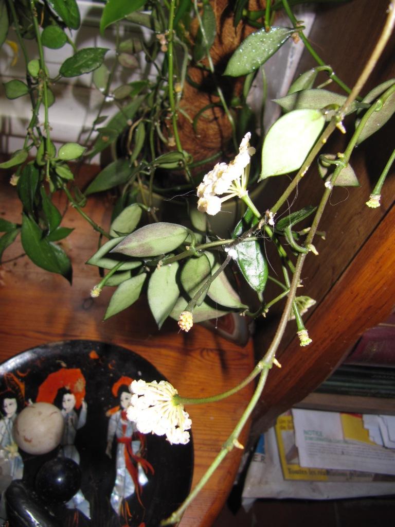 floraison du jour Hoyas 00718