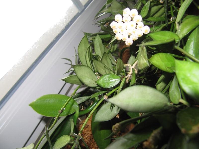 mes floraisons Hoyas du jour  00818