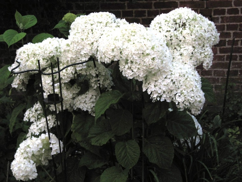 Hortensias  - Page 5 00911