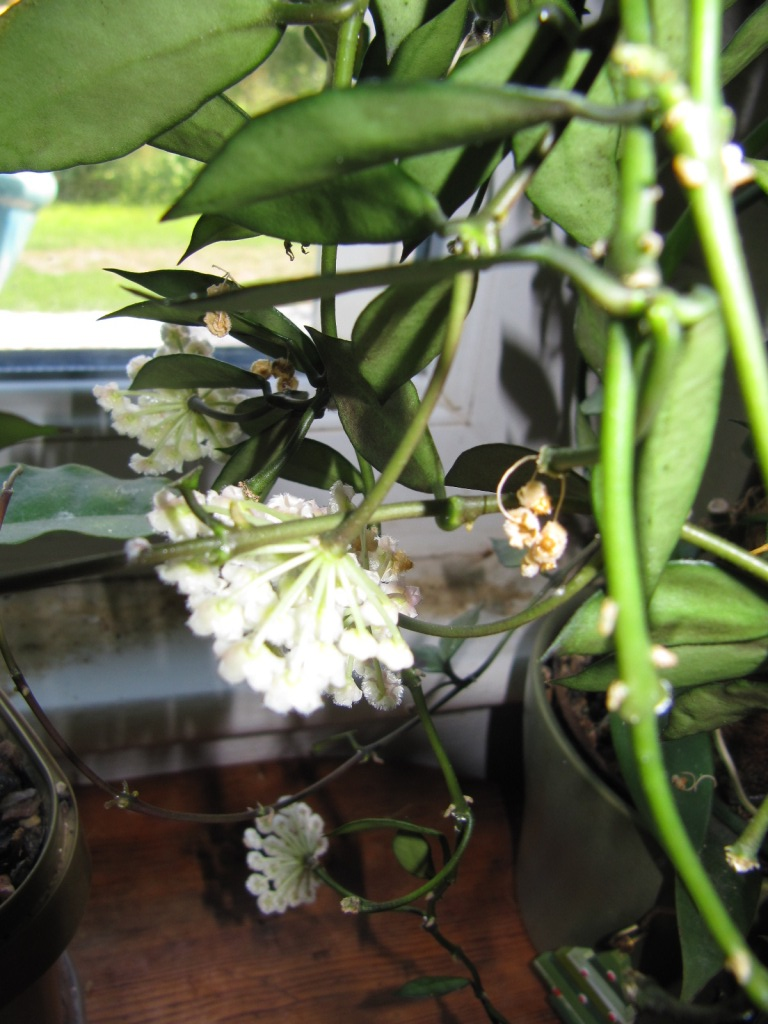 floraison du jour Hoyas  01016