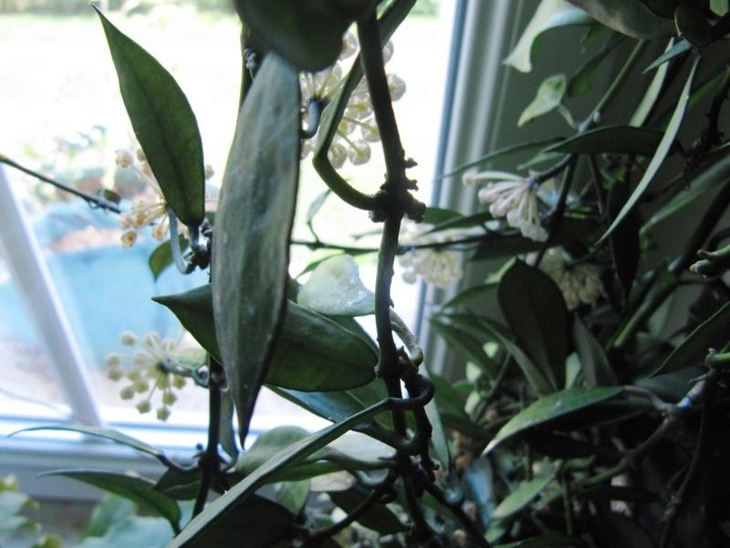 floraison du jour Hoyas  01114