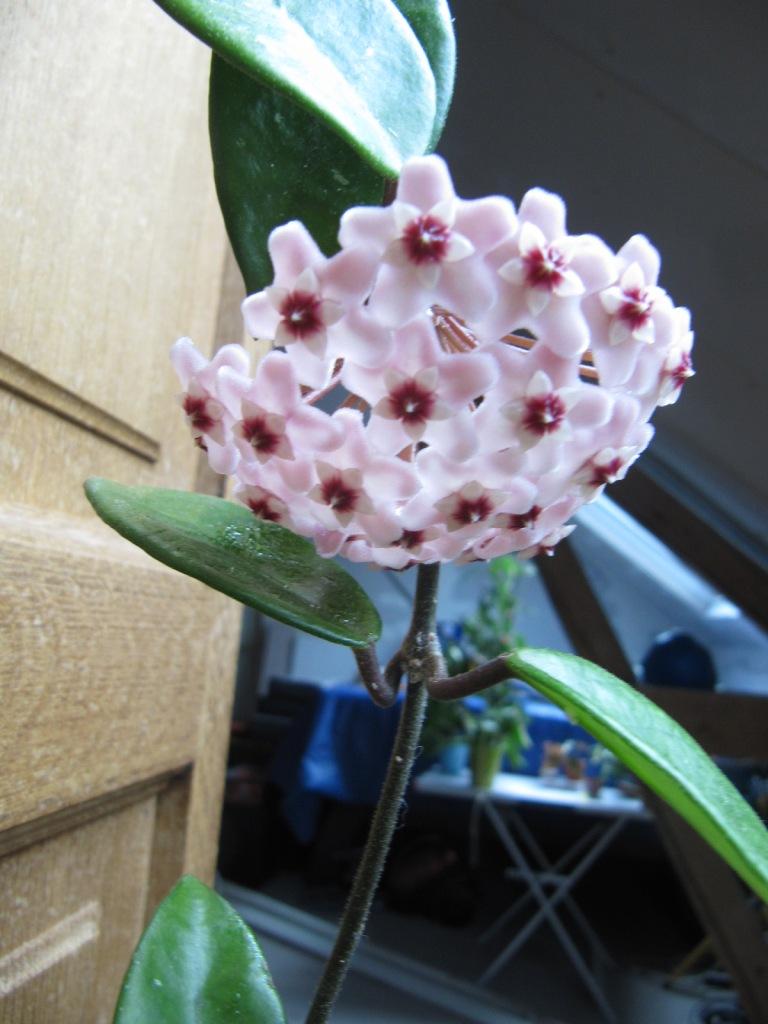 floraisons ou presque Hoyas  01118