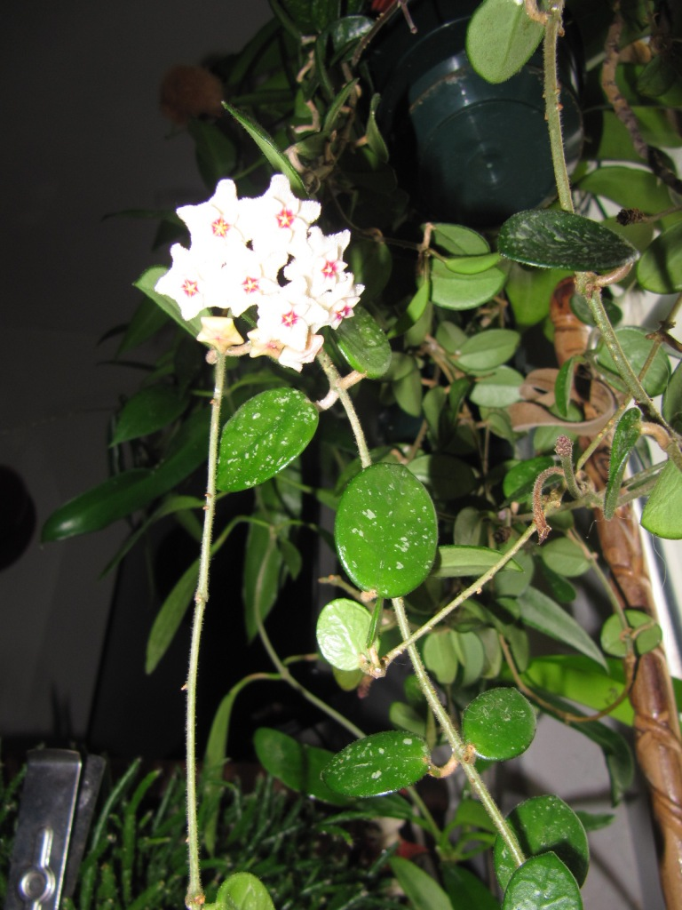 floraison du jour Hoyas 01120