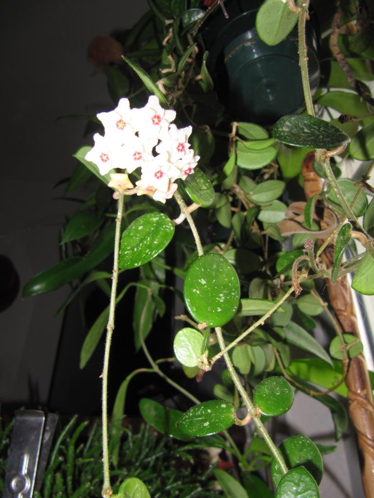 mes floraisons Hoyas du jour  01121