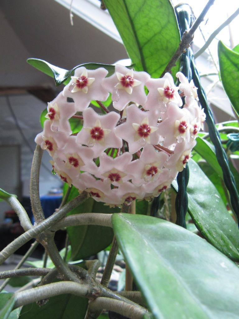 floraisons ou presque Hoyas  01216
