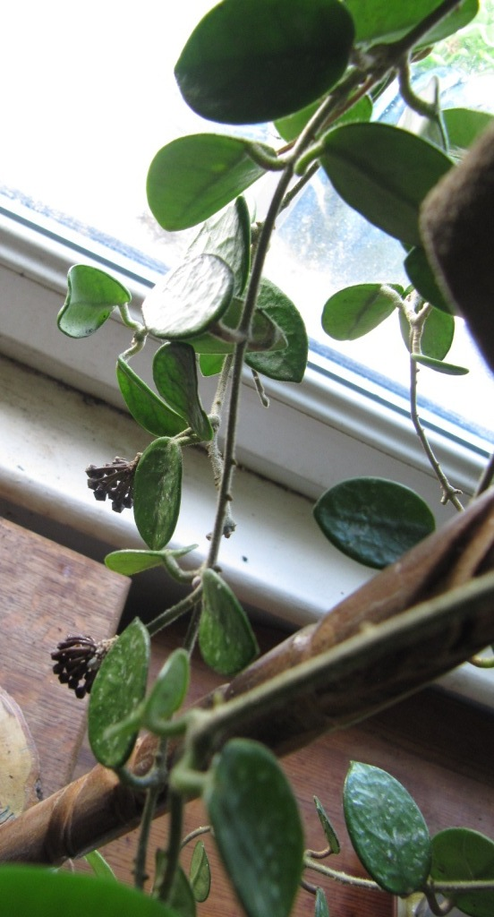 floraison du jour Hoyas  01414