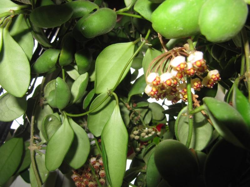 mes floraisons Hoyas du jour  01417