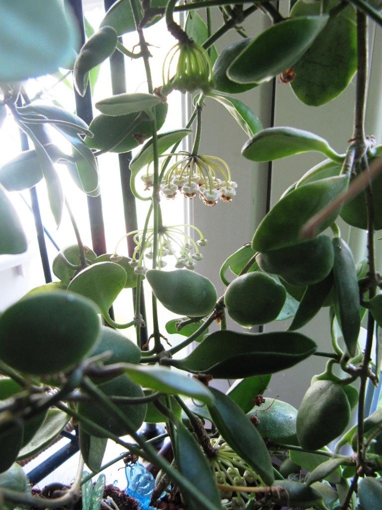 floraison du jour Hoyas  01514