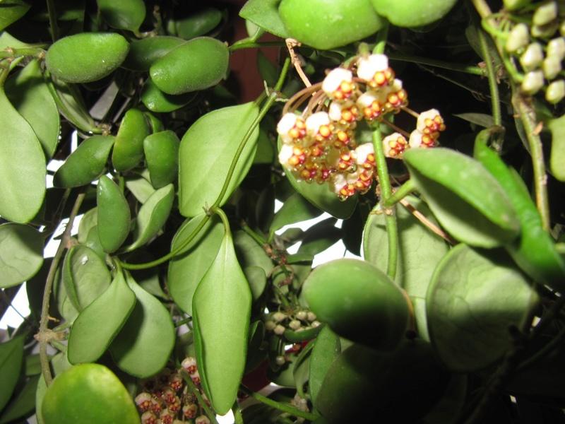 mes floraisons Hoyas du jour  01517