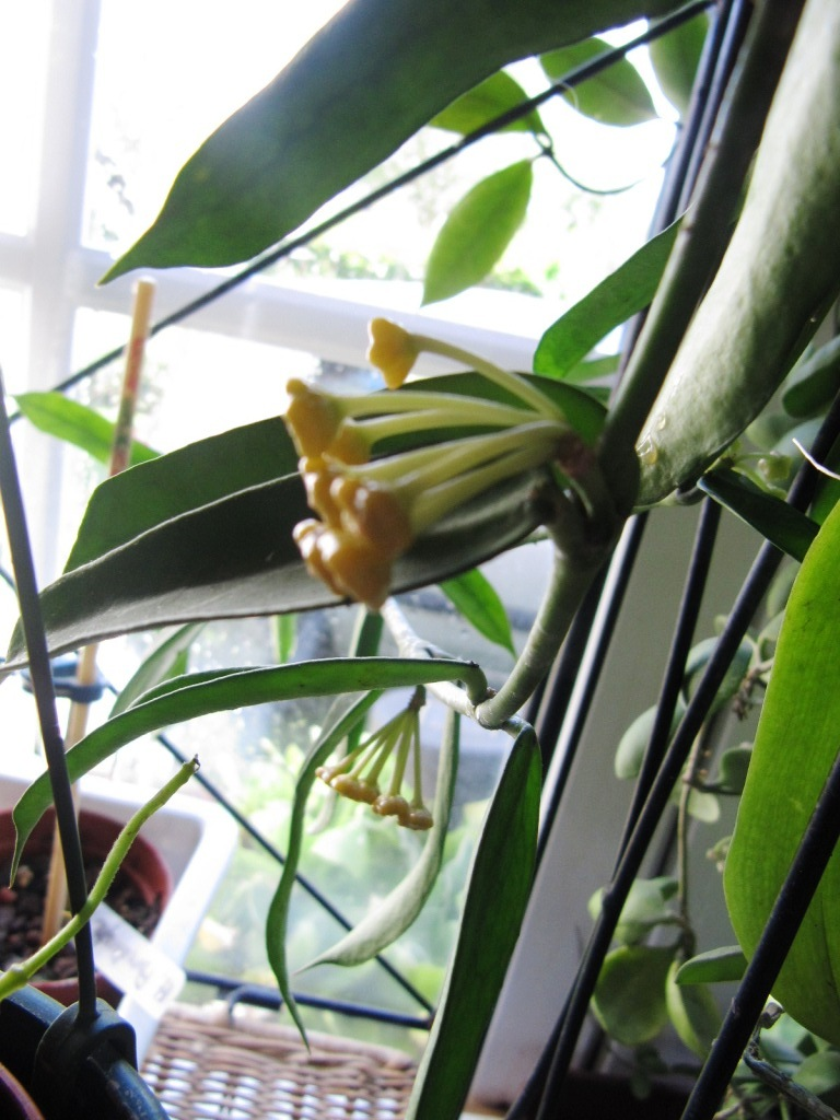 floraison du jour Hoyas  01813