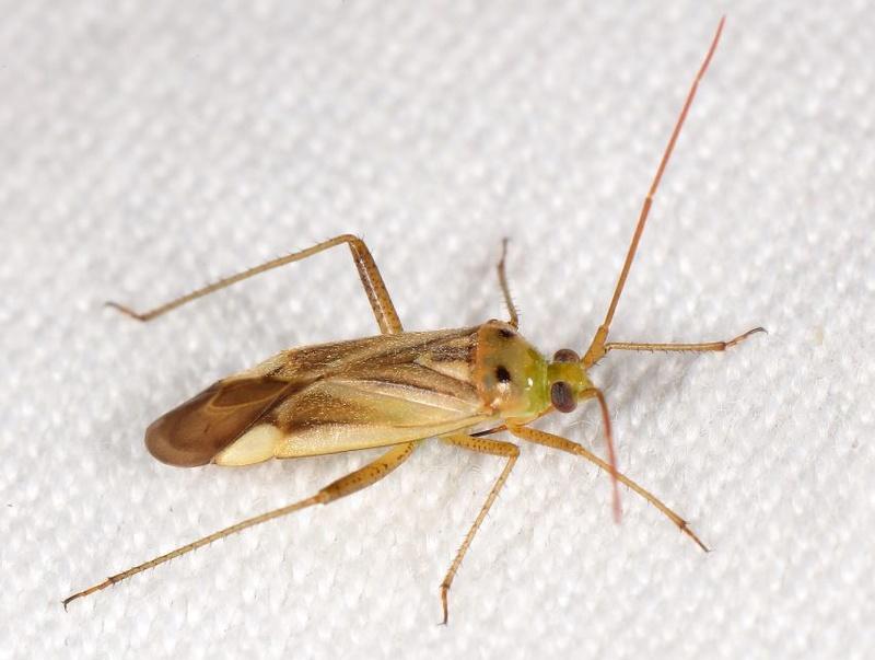 [Adelphocoris sp.] Adelphocoris Captur14