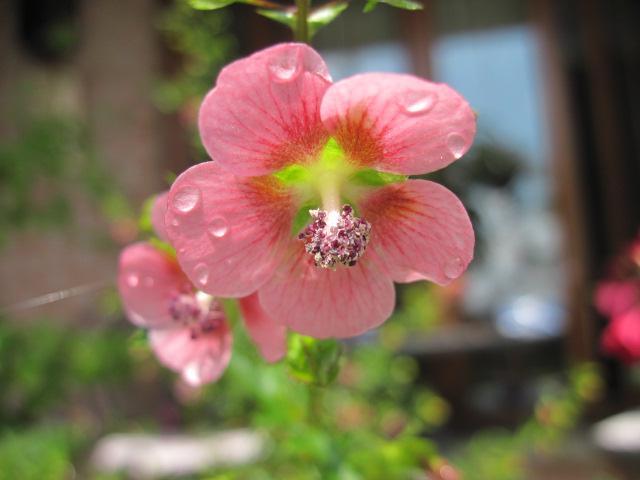 Récolte des semences, plante par plante Anisod10