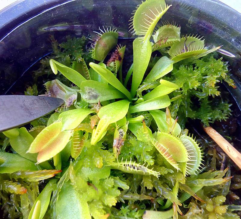 Micro insectes sur feuilles de dionée - Page 2 Img_2130