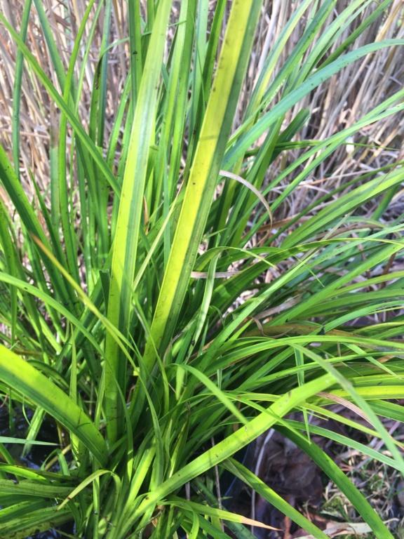 Plante de berge ou aquatique  230cfb10