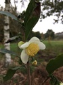 Camellia !!! - Page 8 0192a010
