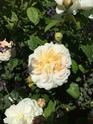 Rosa gesualdo da venosa  08e6c410
