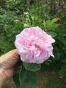 Rosa 'Fantin Latour' !!! - Page 2 0e036d10