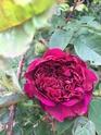 Rosa fosca  124f0110