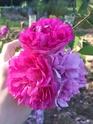 Rosa 'De la Grifferaie' 1ea6da10