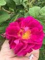 Rosa Alain blanchard 211b8e10