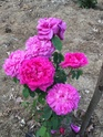 Rosa 'La noyade'  283fe410
