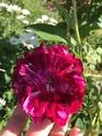 Rosa jean pierre vibert de trangé 3356fb10