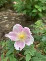 Rosa myriacantha  3c7adb10