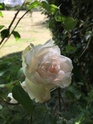 Rosa Mme Alfred Carriere 44f35810