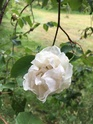 Rosa Mme Alfred Carriere 46d96910