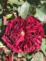 Rosa fosca  49e3b110
