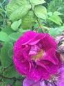 Rosa Alain blanchard 4e5e8210