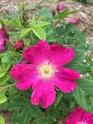 Rosa hienohelma  5213de10