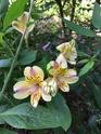 Alstroemeria 5383c610